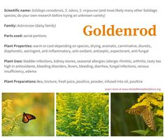 Goldenrod is plentiful all throughout north america - and offers a plethora of healing virtues.  Its golden torches announce the height of summer and remind me to savor the moment and appreciate all the green growing things that will soon be entering a winter's slumber. Goldenrod tea is tasty and full of antioxidants, the infused oil is great for painful joints the tincture can help stop a hay fever reaction.... certainly an important plant to grow your herbal knowledge.