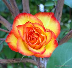 Red Tip White With Yellow Rose | Yellow Rose with Red Tip | whatrosesmean