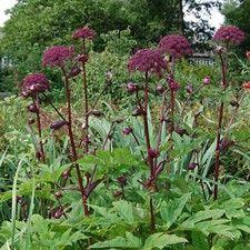 Angelica gigas, as its name suggests, is a tall biennial, for sun or light shade in moist soil. Purple Garden, Colorful Garden, Dwarf Mondo Grass, Winter Container Gardening, Flower Factory, Drought Resistant Plants, Garden Design Plans, Garden Nursery, Hardy Perennials