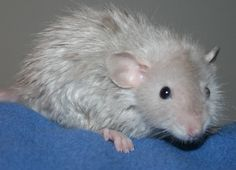 La rata como mascota, cómo es tener una rata en casa