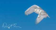 Four Hours Frozen; Snowy Owls