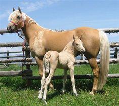 Morgan Colors- Palomino Morgan Horses