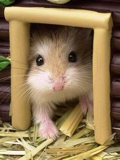 Even though I now have a second hamster-child in the house, Marie is my first baby! Robo Dwarf Hamsters, Robo Hamster, Funny Hamsters, Gerbil, Hamster House, Cute Baby Animals, Animals And Pets, Funny Animals, Scottish Fold