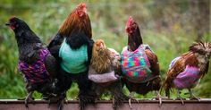Fashion of The Day: These Chickens Get Custom Knitted Sweaters For Winter