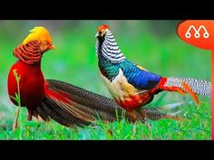 most beautiful birds in the world — Golden Pheasant or Chinese Pheasant Rare Birds, Exotic Birds, Colorful Birds, Golden Pheasant, Most Beautiful Birds, La Rive, Bird Species, Bird Watching, Animal Photography