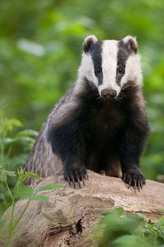 Badger. Setts are often found in woodland and large gardens....