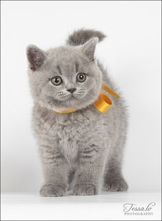 Adorable British Shorthair Kitten