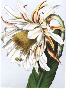 Epiphyllum_thomasianum_(as_Phyllocactus_thomasianus)_1.41.jpg (989×1323)
