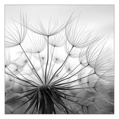 flower plant dandelion meadow salsify rromashka photocase creative stock photos