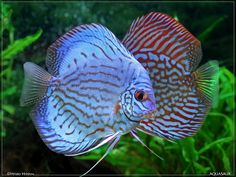 Bilde fra http://www.petshop-zoomania.com/DISCUS/Blue%20and%20Red%20Turquoise%20Discus.jpg.