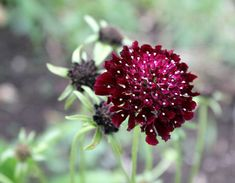 Burgundy Scabiosa // great contrast color