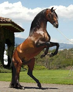 Andalusian stallion, Enlace MH.