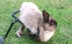 Daily Cute: Rescued Bunny Gets A Wheelchair | Care2 Healthy Living