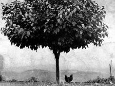 Short Visual Stories - Édouard Boubat - L'arbre et la poule, France, 1950 Henri Cartier Bresson, New York City, San Francisco, Magical Images, Become A Photographer, Gelatin Silver Print, French Photographers, First Photograph, Exhibition Poster