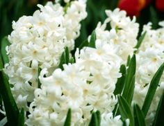 Growing Hyacinths in the Garden: How to Plant, Grow, and Care for Hyacinth Flowers