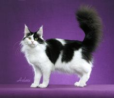 Beautiful colouring, I want this Maine. ✨✨ \ or is it a Turkish Angora?