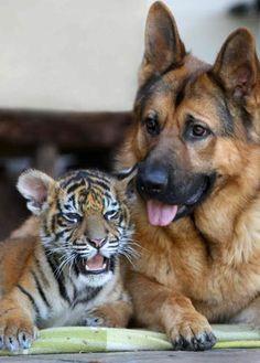 German sheperd and tiger cub..................awwwww