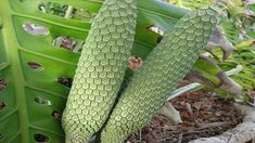 Monstera Deliciosa — The Delicious Monster of a Fruit! Weird Fruit, Strange Fruit, Monstera Deliciosa, Exotic Fruit, Tropical Fruits, Fruit Plants, Fruit Trees, Fruit And Veg, Fruits And Vegetables