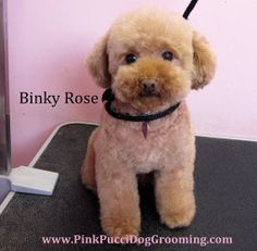 miniature poodle haircut styles - Google Search