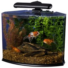 Before you set up your betta fish tanks you should realize that male betta fish (siamese fighting fish) are extremely aggressive towards other fish, (particulary other male betta's), if you put two male bettas in the same tank they will fight to the death.  betta fish tanks