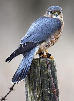 NH Fish and Game Department, guardian of the state's fish, wildlife, and marine resources. Small Birds, Colorful Birds, Beautiful Owl, Animals Beautiful, Nature Animals, Animals And Pets, Merlin Bird, Bird Drawings, Cutest Animals