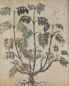 """Aktê, Wiener Dioskurides, folio 73v (copy of """"De materia medica"""" by Pedanius Dioscorides), 512 n. Chr."""
