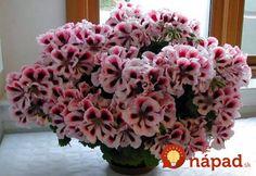 Prinášame vám preto skvelé triky od skúsených pestovateľov, vďaka ktorým budú vaše muškáty najkrajšie široko – ďaleko! Game Themes, Special Flowers, Girl Body, The Body Shop, Geraniums, Costume Accessories, Beautiful Roses, Burlap Wreath, House Plants