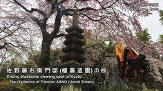 佐野藤右衛門邸(植藤造園)(京都)の桜:Cherry blossoms of the residence of Toemon SANO (Uet...