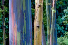 Rainbow Eucalyptus, is the only species of eucalyptus that grows in the northern hemisphere and is normally grown for its pulpwood, used to create white paper. But why does it look like it's been painted?  The secret behind the Rainbow Eucalyptus is that the trees shed multiple patches of bark every year, but not at the same time. As the patches are gone, the green inner bark is exposed, and as it matures it turns bluish, then orange, purple and maroon. This creates the rainbow effect.