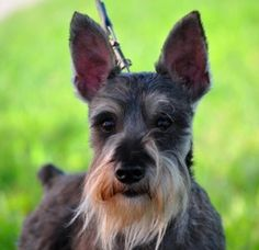 Cornbeef is an adoptable Schnauzer Dog in Houston, TX. WE ARE NOT A SHELTER. Meet Cornbeef! Cornbeef is a handsome Min Schnauzer. He was hit by a car and brought a local vet clinic where x-rays were ...