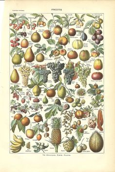 Antique Botanical Poster Print - FRUITS - French Dictionary Color Illustration
