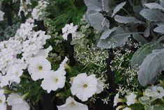 Dusty miller, euphorbia 'Diamond Frost', white petunias, white verbena - striking combo by Deborah Silver at Detroit Garden Works Begonia, Container Plants, Container Gardening, Container Flowers, Petunias, Japanese Painted Fern, Moon Garden, Garden Path