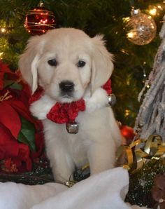 english cream golden retriever puppies I'm Dreaming of a White Christmas. Christmas Puppy, Christmas Animals, White Christmas, Animals And Pets, Baby Animals, Cute Animals, Puppies For Sale, Dogs And Puppies, Doggies