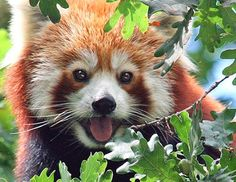 At the Dresden zoo in Germany, a red panda escaped its enclosure and fell 30 feet out of a tree as firefighters tried to rescue it.