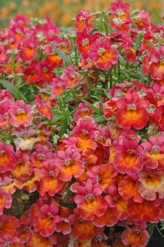 Nemesia 'Giggles Spicy Orange Pink' - Nemesia looks like a miniature snapdragon and is always a great addition to a sunny container.
