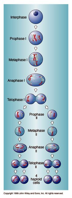 meiosis cell division necessary for sexual reproduction in eukaryotes such as animals plants and fungi The number of sets of chromosomes in the cell undergoing meiosis i. Cell Biology, Ap Biology, Science Biology, Teaching Biology, Science Education, Life Science, Physical Science, Earth Science, Science Experiments