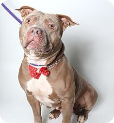 Corona, CA - Pit Bull Terrier Mix. Meet Kennel 23 Lady, a dog for adoption. http://www.adoptapet.com/pet/14302410-corona-california-pit-bull-terrier-mix