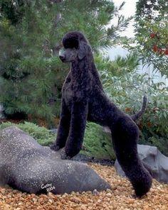 german Poodle Pet Clip | Found on highfalutinpoodles.com