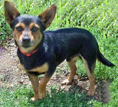 Carlin is an adoptable Miniature Pinscher searching for a forever family near Park Rapids, MN. Use Petfinder to find adoptable pets in your area.