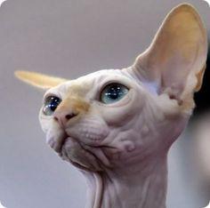 SPHYNXes una raza de gatocuya característica más llamativa es la aparente ausencia de pelaje y su aspecto delgado y esbelto. Esta apariencia característica es el resultado de unamutación genéticanatural de carácter recesivo, acontecida enCanadá, en la década de los 60