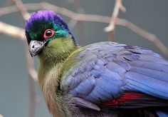 The Purple-crested Turaco (Tauraco porphyreolophus) is a species of bird in the Musophagidae family. It is the National Bird of the Kingdom of Swaziland.