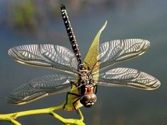 Silver-winged dragonfly