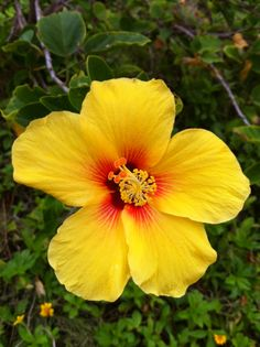 Offical flower of Hawaii