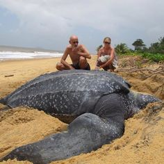Now that's a big turtle featured on photos in this weeks digital The Naughton Weekly Giant Sea Turtle, Big Turtle, Baby Sea Turtles, Underwater Sea, Underwater Creatures, Most Beautiful Animals, Beautiful Creatures, Cute Funny Animals, Cute Baby Animals