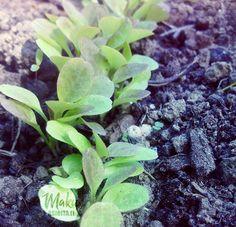 Succulents, Herbs, Fruit, Plants, Food, Essen, Succulent Plants, Herb, Meals