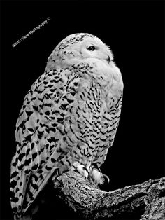 New! Snowy Owl.  Beautiful Snowy Owl photograph taken in black & white.  Large mixture of products!: #wallart #art #prints #canvas #frames #phoneskins #apparel #Tote #Bags #Galaxy #Laptop #Skins #Cases #clocks #homedécor #stationary #gifts #rugs + More!! Main Website: http://www.scenicviewphotography.co.uk/  X3 Shops: https://www.redbubble.com/people/scenicviewpics  https://www.artpal.com/scenicviewpics Society6: https://society6.com/scenicviewphotography/collection  Copyright protected.