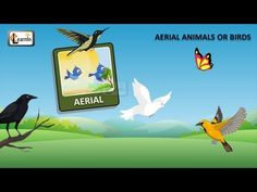Birds video for kids   Aerial Animals video for kid   Kindergarten learning videos playlist HD