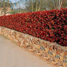 This is the end result of a Red Robin hedge above the wall BUT this photos exaggerates the red! Photinia Red Robin, Photinia Fraseri Red Robin, Front House Landscaping, Privacy Landscaping, Red Robin Hedge, Flower Fence, Evergreen Hedge, Landscape Curbing, Garden Hedges