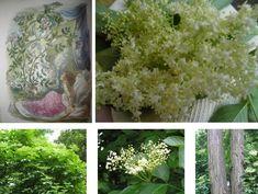 Bodzavirág teának Plants, Plant, Planets