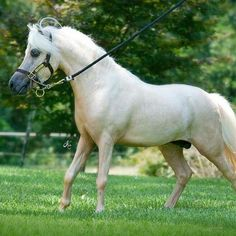 Miniature Stallions for Sale Age 3 & OlderJUDr.Mudr Jana Dubovcová